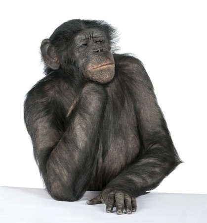 austere: Monkey at a table (Mixed-Breed between Chimpanzee and Bonobo) (20 years old) in front of a white background