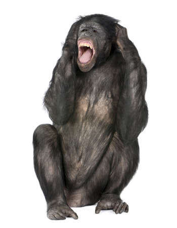 crazy monkey screaming, sitting (Mixed-Breed between Chimpanzee and Bonobo) (20 years old) in front of a white background Stock Photo