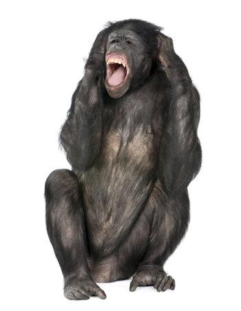 bonobo: Mono Loco gritando, sentado (mixed-Breed entre chimpanc�s y bonobos) (20 a�os) delante de un fondo blanco