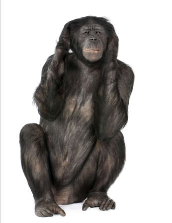 Hear no Evil monkey (Mixed-Breed between Chimpanzee and Bonobo) (20 years old) in front of a white background Stock Photo - 5497275