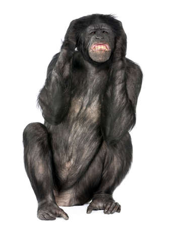 bonobo: el mono loco sesi�n (Mixed-Breed entre el chimpanc� y bonobo) (20 a�os) delante de un fondo blanco Foto de archivo