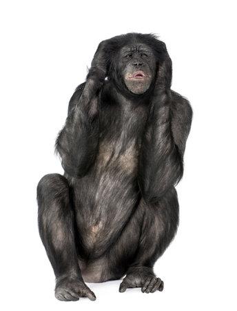 bonobo: Escucho mono Evil (Mixed-Breed entre el chimpanc� y bonobo) (20 a�os) delante de un fondo blanco Foto de archivo