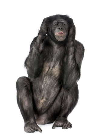 Hear no Evil monkey (Mixed-Breed between Chimpanzee and Bonobo) (20 years old) in front of a white background Stock Photo - 5497288