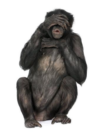 bonobo: no veo mal mono (Mixed-Breed entre el chimpanc� y bonobo) (20 a�os) delante de un fondo blanco
