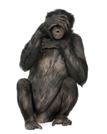 see no evil monkey (Mixed-Breed between Chimpanzee and Bonobo) (20 years old) in front of a white background Stock Photo - 5497281