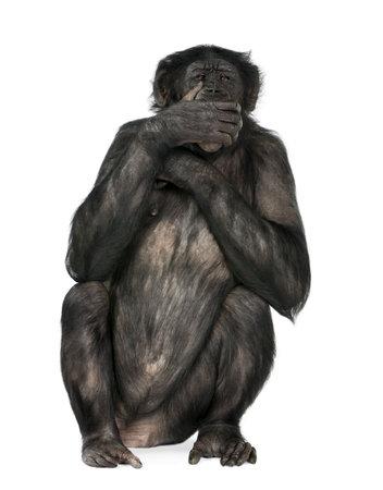 bonobo: no hablan mal de mono (Mixed-Breed entre el chimpanc� y bonobo) (20 a�os) delante de un fondo blanco Foto de archivo