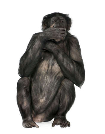 20 years old: speak no evil monkey (Mixed-Breed between Chimpanzee and Bonobo) (20 years old) in front of a white background Stock Photo