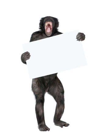 Mixed breed between Chimpanzee and Bonobo holding blank posterboard, 20 years old, in front of white background, studio shot  photo