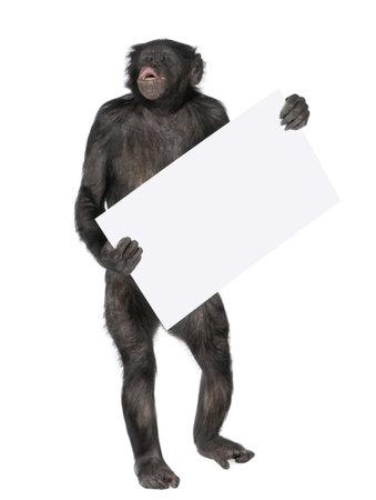 bonobo: Mono, con un cartel vac�o y sreaming, (Mixed-Breed entre el chimpanc� y bonobo) (20 a�os) delante de un fondo blanco, Foto de archivo