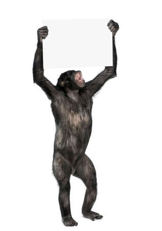 20 years old: Monkey holding a empty banner and screaming, (Mixed-Breed between Chimpanzee and Bonobo) (20 years old) in front of a white background