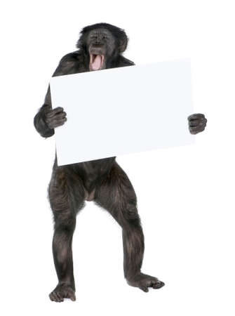 objection: Monkey holding a empty banner and sreaming, (Mixed-Breed between Chimpanzee and Bonobo) (20 years old) in front of a white background Stock Photo
