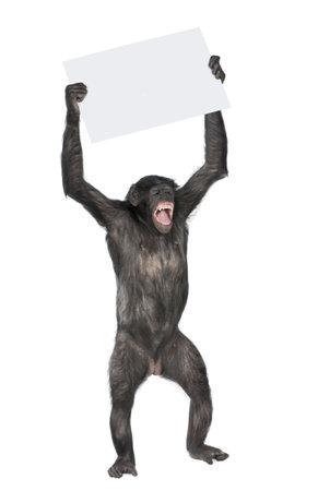 chimpansee: Monkey een leeg vaandel houden en schreeuwen, (Mixed-breed tussen de chimpansee en Bonobo) (20 jaar) voor een witte achtergrond  Stockfoto