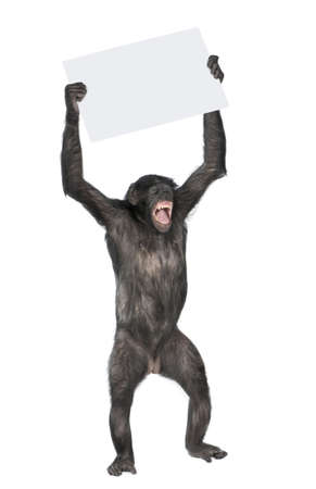 Monkey holding a empty banner and screaming, (Mixed-Breed between Chimpanzee and Bonobo) (20 years old) in front of a white background photo