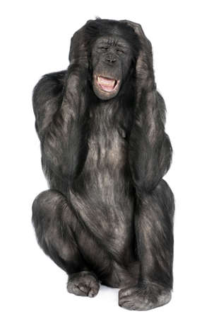 20 years old: Mixed-Breed between Chimpanzee and Bonobo (20 years old) in front of a white background