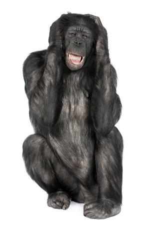 bonobo: Mixto-generaci�n entre chimpanc�s y bonobos (20 a�os) en frente de un fondo blanco Foto de archivo