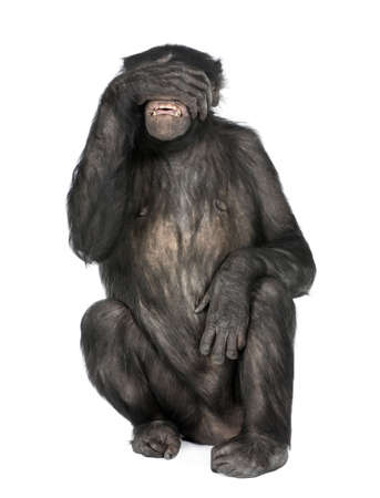 20 years old: see no evil monkey (Mixed-Breed between Chimpanzee and Bonobo) (20 years old) in front of a white background Stock Photo