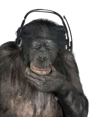 animal behavior: Monkey listening music closed eyes with his black headset  in front of a white background (Mixed-Breed between Chimpanzee and Bonobo (20 years old))