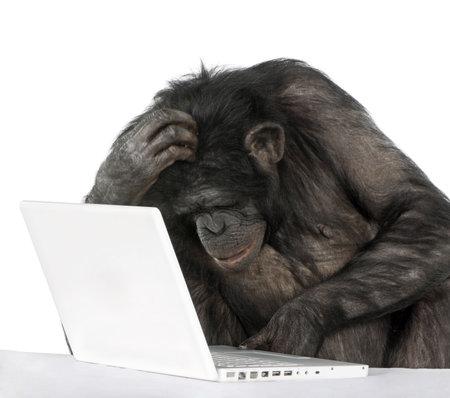 bonobo: el mono (Mixed-Breed entre el chimpanc� y bonobo) jugando con un ordenador port�til (20 a�os) delante de un fondo blanco Foto de archivo