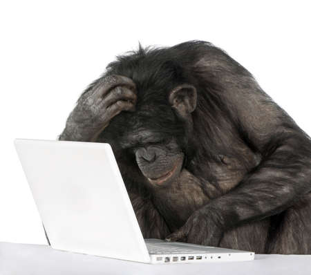 monkey (Mixed-Breed between Chimpanzee and Bonobo) playing with a laptop (20 years old) in front of a white background Stock Photo - 5497294