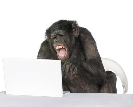 chimpansee: Portret van chimpansee spelen met een laptop tegen witte achtergrond, studio opname  Stockfoto
