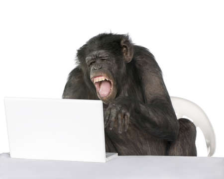 monkeys: Retrato de chimpanc� jugando con un ordenador port�til sobre fondo blanco, disparo de estudio