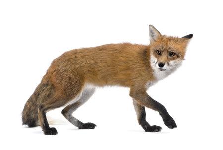 volpe rossa: Red Fox, Vulpes vulpes, 4 anni a piedi su sfondo bianco, studio shot
