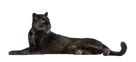 in black: Black Leopard, 6 years old, in front of a white background