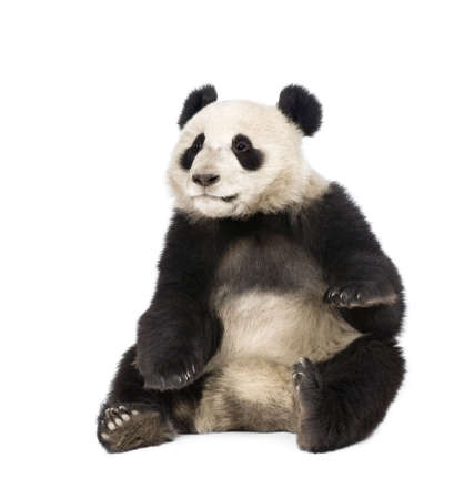 cubs: Giant Panda, Ailuropoda melanoleuca, 18 months old, in front of a white background, studio shot
