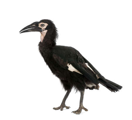 18: Young Southern Ground-hornbill, Bucorvus leadbeateri, 18 months, in front of a white background, studio shot