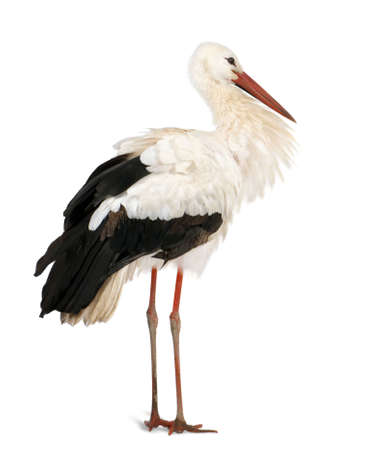 18: White Stork, Ciconia ciconia, 18 months, standing in front of a white background