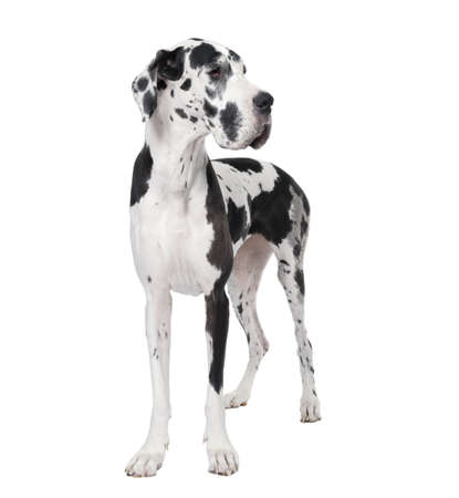 large dog: Great Dane, 4 years old, standing in front of white background, studio shot