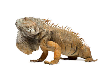 lizard: Vista lateral de la iguana verde, Iguana iguana, 6 a�os de edad, en frente de fondo blanco, disparo de estudio