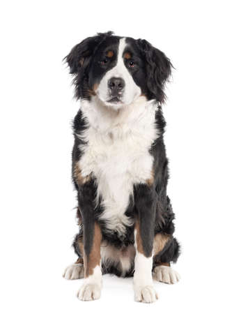 Portrait of Bernese mountain dog sitting in front of white background, studio shot photo