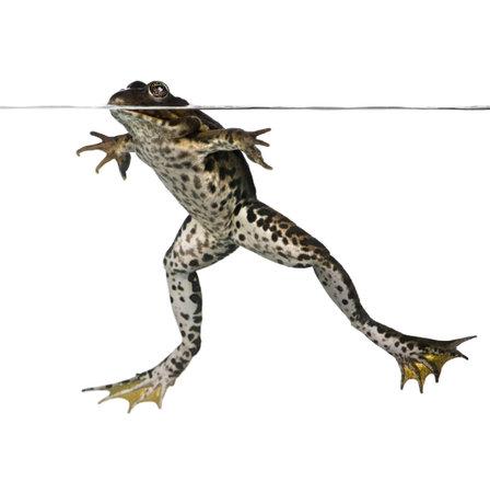 esculenta: Edible frog floating in water, Rana esculenta, studio shot
