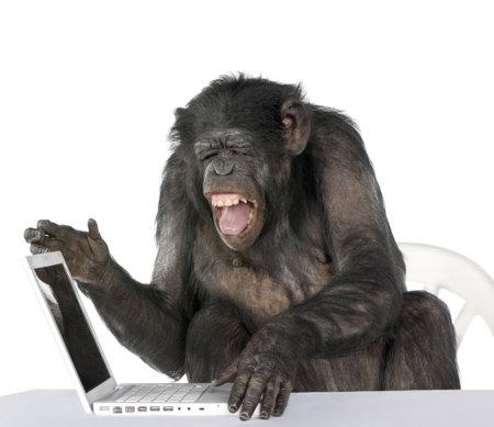 chimpansee: Portret van Chimpansee spelen met een laptop tegen witte achtergrond, studio shot