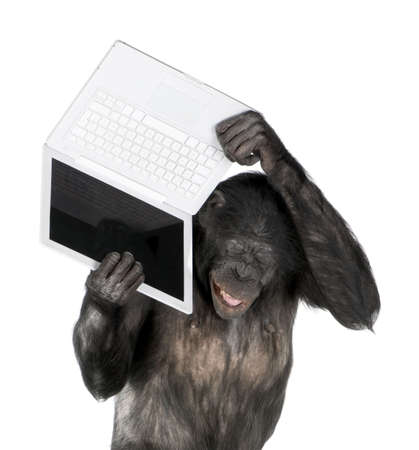 monkey (Mixed-Breed between Chimpanzee and Bonobo) playing with a laptop (20 years old) in front of a white background photo