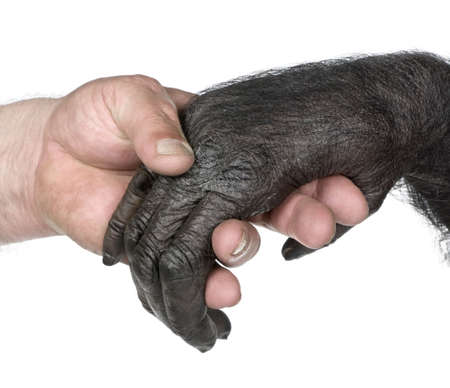 evolution: Human and monkey joining hands (Mixed-Breed between Chimpanzee and Bonobo) (20 years old) in front of a white background