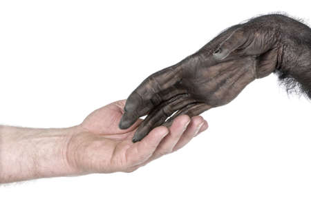primates: handshake  between Human hand and monkey hand (Mixed-Breed between Chimpanzee and Bonobo) (20 years old) in front of a white background