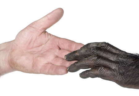 Human and monkey joining hands (Mixed-Breed between Chimpanzee and Bonobo) (20 years old) in front of a white background