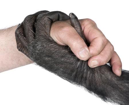 evolucion: apret�n de manos entre mano humana y de la mano de mono (mixed-Breed entre chimpanc�s y bonobos) (20 a�os) delante de un fondo blanco