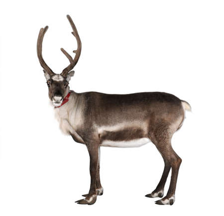 reindeer, side view, looking at the camera in front of a white background photo