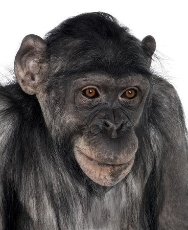 bonobo: primer plano sobre la cabeza de un mono (mixed-Breed entre chimpanc�s y bonobos) (8 a�os)  Foto de archivo