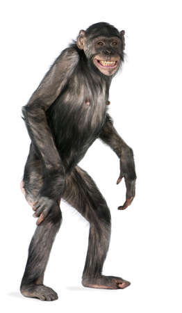 Mixed-Breed between Chimpanzee and Bonobo (8 years old) Stock Photo