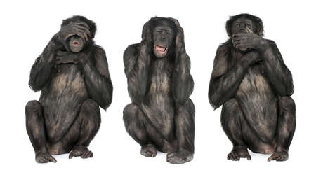 Three Wise Monkeys : Chimpanzee - Simia troglodytes (20 years old) in front of a white background photo