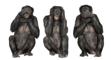 sur fond blanc: Trois Wise Monkeys: Chimpanz� - troglodytes Simia (20 ans) devant un fond blanc