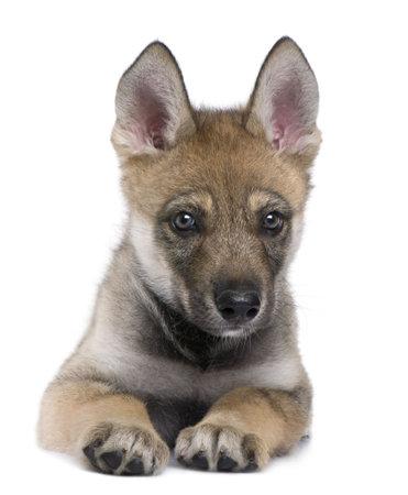 cachorro: Joven lobo europeo, acostado y mirando a la c�mara (Canis lupus lupus) delante de un fondo blanco Foto de archivo