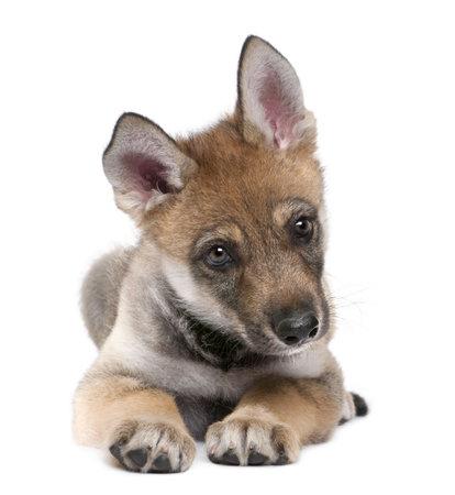 cachorro: Joven lobo Europeo, acostado y frente a la c�mara (Canis lupus lupus) delante de un fondo blanco