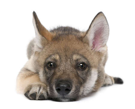 pup: Young European wolf resting lying down and looking at the camera - Canis lupus lupus in front of a white background Stock Photo