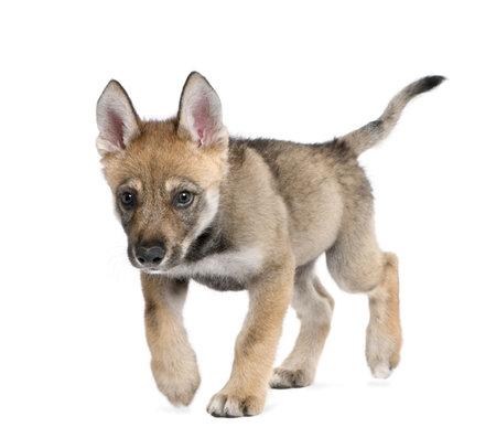 perro corriendo: Joven lobo Europeo - Canis lupus lupus delante de un fondo blanco  Foto de archivo