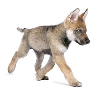カブ: 若いヨーロッパの狼実行 - 白い背景の前でループス カニスルプス